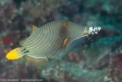 BD-130709-Maldives-9917-Balistapus-undulatus-(Park.-1797)-[Orange-lined-triggerfish.-Orangestrimmig-tryckarfisk].jpg